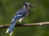 August Bluejay backyard.jpg