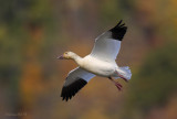October Snow Goose - Cap Tormente.jpg