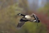 October Canada Goose - Cornwall Ontario.jpg