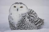 Snowy Owl-female.jpg