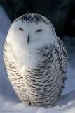 Snowy Owl female.jpg