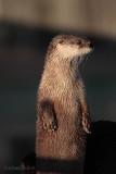 River Otter_.jpg
