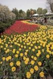 Tulips-Major-Hill-Park.jpg