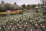 Sunday-Tulips-Major-Hill-Park.jpg