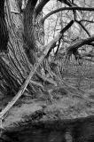 old_tree.jpg