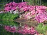 azaleas -300dpi.jpg