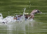 wood duck hen luring us away from her babies
