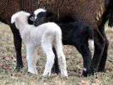 first 2006 spring lambs