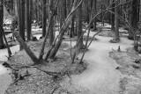White Cedar Swamp_M8K8178 bw.jpg