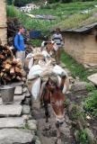 Mule in Kahti.jpg