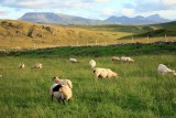 Horn Head sheep.jpg