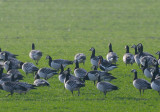 Red-necked Goose (Branta ruficollis)