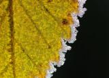 Wych Elm leaf