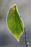 Frost-fringed Wych Elm leaf