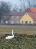 Whooper Swan & Greylag Goose