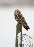 Short-eared Owl - Jorduggla