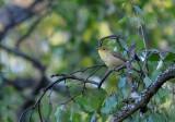 Melodious Warbler - Polyglottsångare