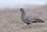 Skogsduva - Stock Dove