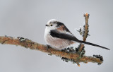Stjärtmes - Long-tailed Tit