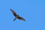 Pallid harrier X Northern Harrier - Stäpphök X Blåhök