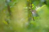 Busksångare - Blyth's reed-warbler