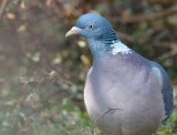 Ringduva - Wood Pigeon