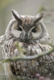 Gufo comune ( long eared owl)