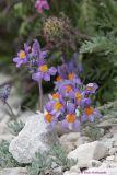 Linaria Alpina_034.jpg