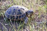 Yengui Gazgen - Turtle