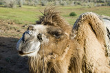 Yengui Gazgen - Camel