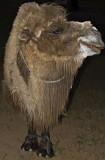 Yengui Gazgen - Camel in the night