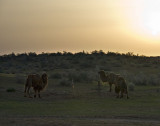 Yengui Gazgen - Camels at dawn