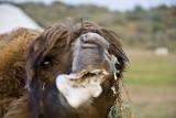 Yengui Gazgen - Foaming camel