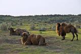 Yengui Gazgen - Camels