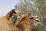 Camel delight