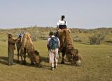 Preparing the camel