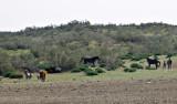 Semi wild horses