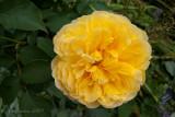 Rosa Molineux Ausmol