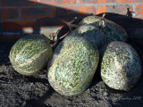 Gourds  (I think)