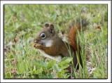 Red Squirrel 1.jpg