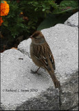 Juvenile Chipping Sparrow-.jpg