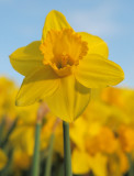 Hubbard Park Daffodil Festival