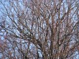 First Buds of Spring - Langhorne
