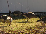 Geese at Work - Langhorne