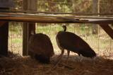 Peacocks at Reedman Farms