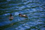 Duck, Duck . . .