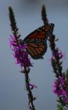 Madam Butterflies