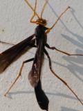 Ichneumon - Wasp