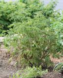 Lime-scented Geranium (Tag #626)