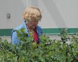 RM Pruning Snowberries (4798)